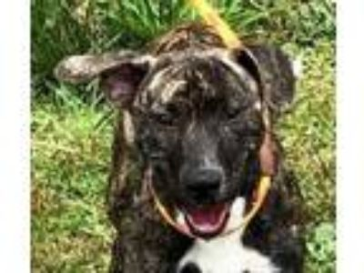 Adopt Dixon a Plott Hound, Mixed Breed