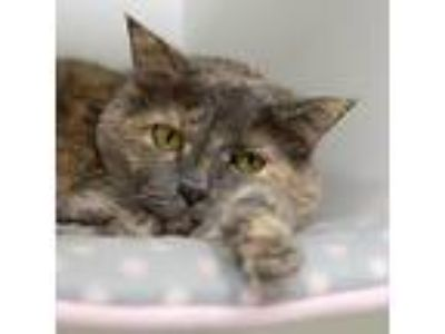 Adopt Zosya a Gray or Blue Domestic Shorthair / Domestic Shorthair / Mixed cat