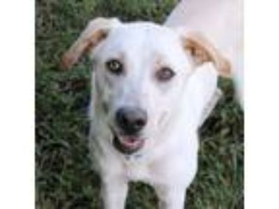 Adopt Cassie a White Retriever (Unknown Type) / Mixed dog in Loxahatchee