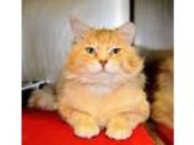 Adopt Biscuit a Domestic Medium Hair