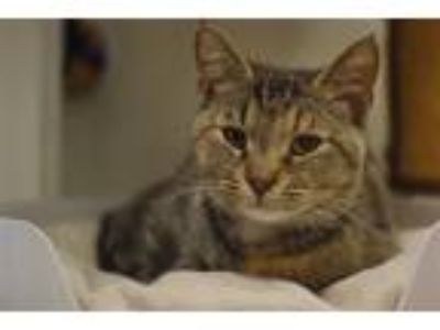 Adopt Almond a Domestic Shorthair / Mixed cat in Birmingham, AL (25827303)