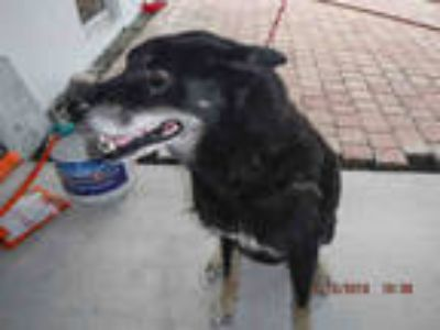 Adopt CHIEF a Black - with Tan, Yellow or Fawn German Shepherd Dog / Mixed dog