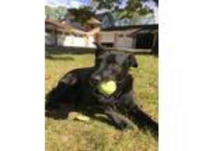 Adopt Baloo a Black German Shepherd Dog / Labrador Retriever / Mixed dog in