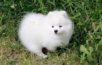 Pomeranian Puppies For Sale Classifieds In Clarksville Tennessee