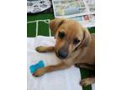 Adopt Blondie a Tan/Yellow/Fawn Dachshund / Mixed dog in South Elgin