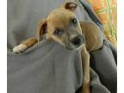 Adopt Micky a Tan/Yellow/Fawn - with Black Pit Bull Terrier / Mixed dog in