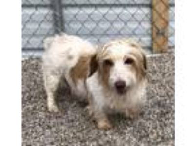Adopt Sky a White - with Tan, Yellow or Fawn Dachshund / Mixed dog in Mesquite