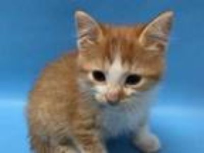 Adopt Frollo a Orange or Red Domestic Shorthair / Mixed cat in Coon Rapids