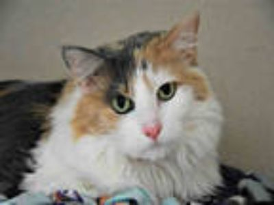 Adopt GRACIE MAE a Calico or Dilute Calico Domestic Longhair / Mixed (long coat)
