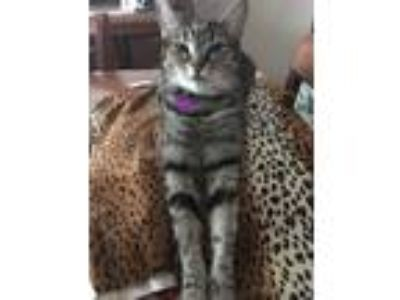Adopt Trixy a Brown Tabby American Shorthair (short coat) cat in Nuevo
