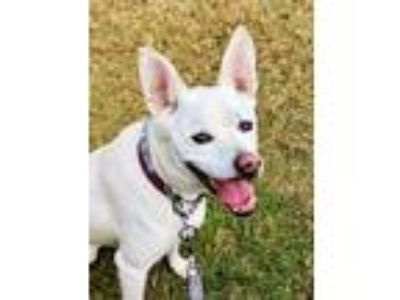 Adopt BELLA a White Labrador Retriever / Terrier (Unknown Type