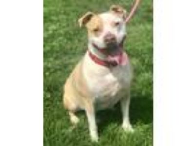 Adopt Maude a White American Pit Bull Terrier / Mixed dog in Hudson