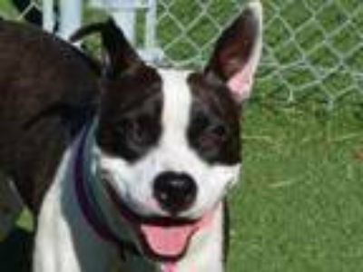 Adopt ZOEY a Pit Bull Terrier, Mixed Breed