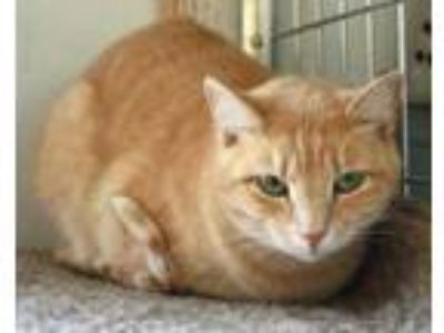 Adopt Sloopy a Domestic Short Hair