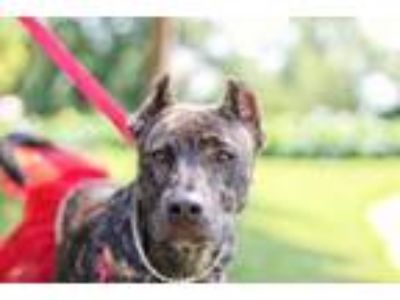 Adopt Charm a Pit Bull Terrier, German Shepherd Dog
