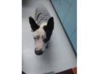 Adopt Washington a Cattle Dog, Bull Terrier