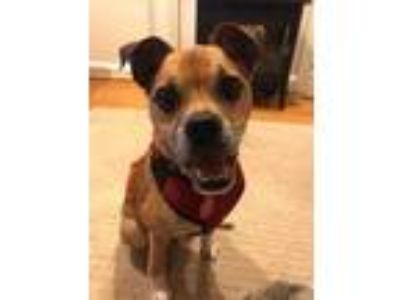 Adopt Cooper II a Brown/Chocolate Pug / Jack Russell Terrier / Mixed dog in
