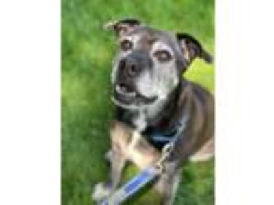 Adopt Bonnie a Bull Terrier, Labrador Retriever