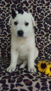 German Shepherd Dog PUPPY FOR SALE ADN-89104 - AKC White German Shepherd