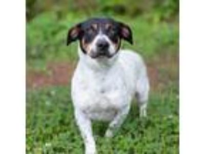 Adopt Brinkley a White - with Tan, Yellow or Fawn Basset Hound dog in
