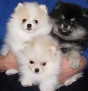 Beautiful Pomeranian puppies Available/*sMs(317)623-8716