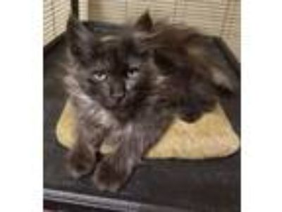 Adopt Anouk a Domestic Long Hair, Maine Coon