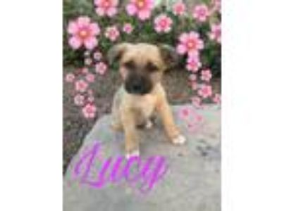 Adopt Lucy(very social) a German Shepherd Dog, Labrador Retriever