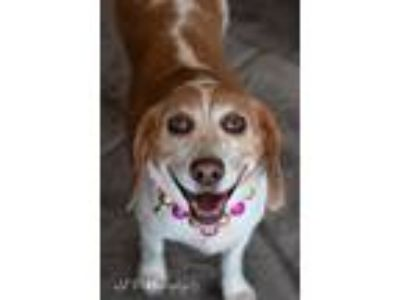 Adopt Emily Robison a White - with Tan, Yellow or Fawn Beagle dog in Allen