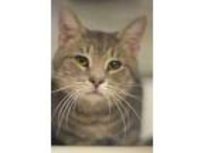 Adopt Trail Mix 1 a Gray or Blue Domestic Shorthair / Domestic Shorthair / Mixed