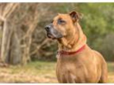 Adopt Stitch a Great Dane, Pit Bull Terrier