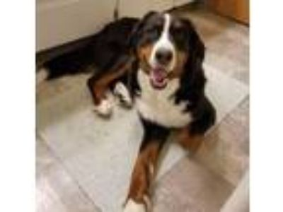 Adopt Super Nova a Bernese Mountain Dog