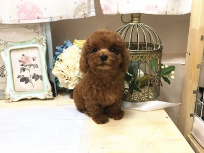 Poodle (Toy) PUPPY FOR SALE ADN-71091 - Brown Toy Poodle