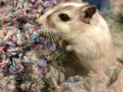 Adopt Spice Girl a Tan or Beige Gerbil / Mixed small animal in Everett