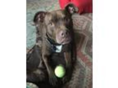 Adopt Queen a Brown/Chocolate Pit Bull Terrier / Mixed dog in Merriam
