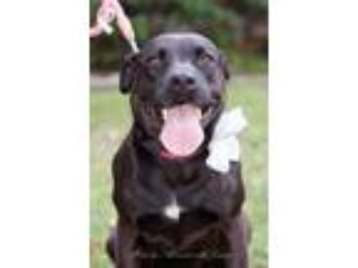 Adopt Stella a Black - with White Mastiff / Labrador Retriever / Mixed dog in