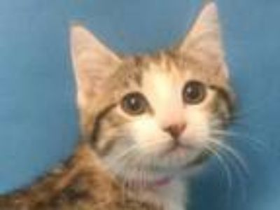 Adopt Lady Cluck a Orange or Red Domestic Shorthair / Mixed cat in Coon Rapids