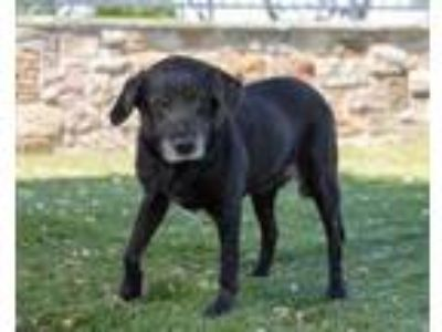 Adopt 41988049 a Black Labrador Retriever / Mixed dog in Carrollton