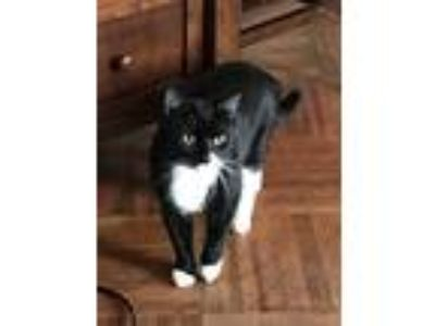 Adopt SweetPea a Black & White or Tuxedo Domestic Mediumhair / Mixed cat in