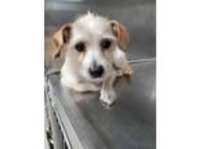 Adopt 41973268 a Tan/Yellow/Fawn Terrier (Unknown Type, Small) / Mixed dog in