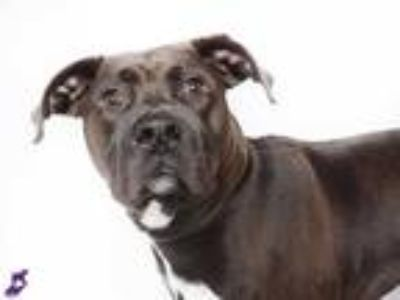 Adopt ROGER a Black - with White Labrador Retriever / American Pit Bull Terrier