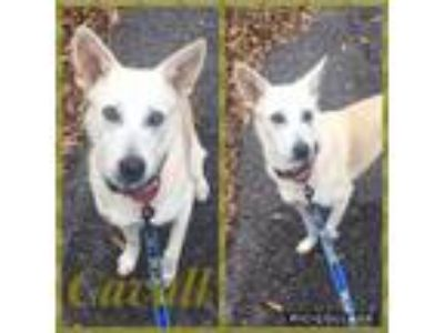 Adopt Cavall a White German Shepherd