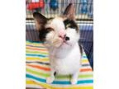 Adopt Kayla a White Domestic Shorthair / Domestic Shorthair / Mixed cat in