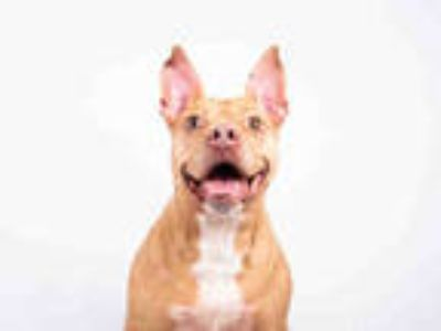 Adopt DARCY a Tan/Yellow/Fawn - with White American Pit Bull Terrier / Mixed dog