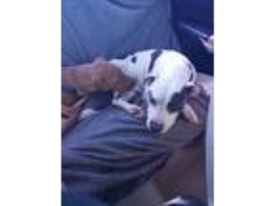 Adopt Gia a White - with Gray or Silver American Pit Bull Terrier / American