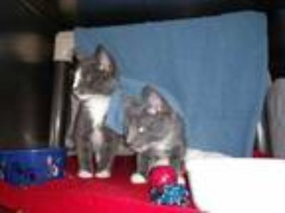 Adopt Rainer a Gray or Blue Domestic Shorthair / Domestic Shorthair / Mixed cat