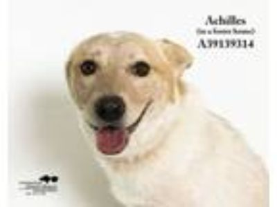 Adopt Achilles (In a Foster Home) a Shepherd, Labrador Retriever