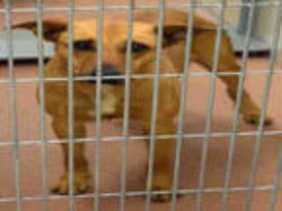 Adopt BAYLYNNE a Tan/Yellow/Fawn - with White Labrador Retriever / Mixed dog in