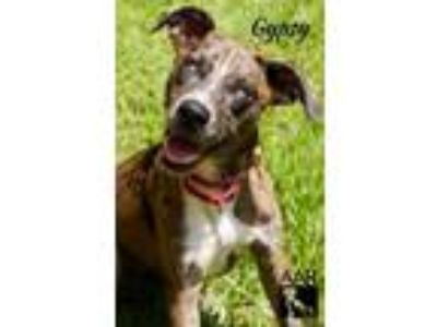Adopt Gypsy a Catahoula Leopard Dog / Great Dane / Mixed dog in Magnolia