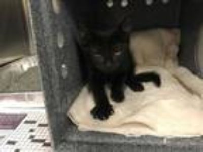 Adopt TARDER SAUCE a Black (Mostly) Domestic Shorthair / Mixed (short coat) cat