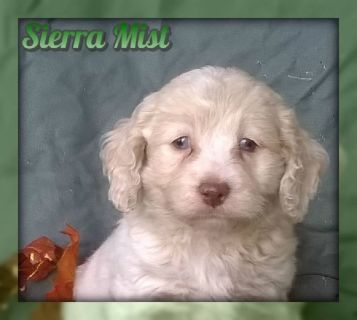 Sierra Mist Female Cockapoo